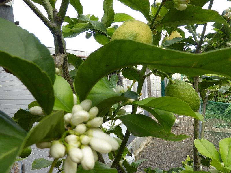 7-citronniers, citrons (46)