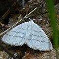 Cabère virginale • Cabera pusaria • Famille des Geometridae