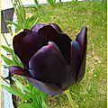 tulipenoire2