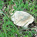 Russula virescens (2)