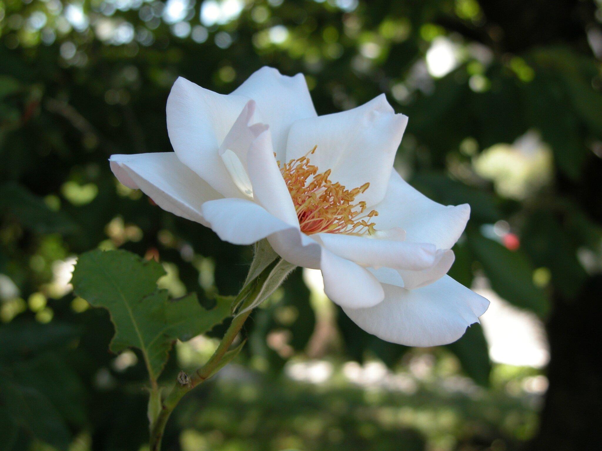 Rose Sophie 39