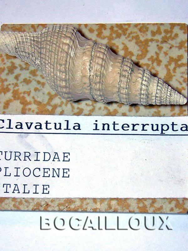 CLAVATULA INTERRUPTA