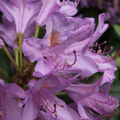 Rhododendron-04