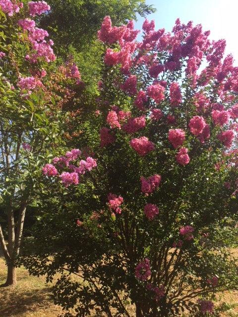 11-Les lagerstroemias roses à Termes d'Armagnac