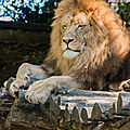 lion beauval6