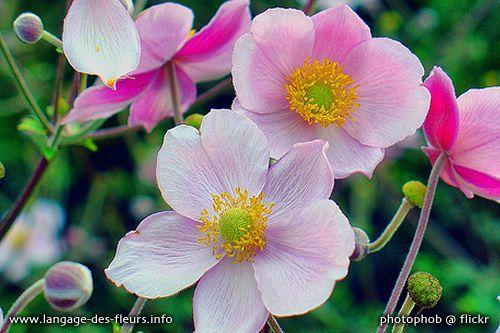 z-fleurs-anemone-1
