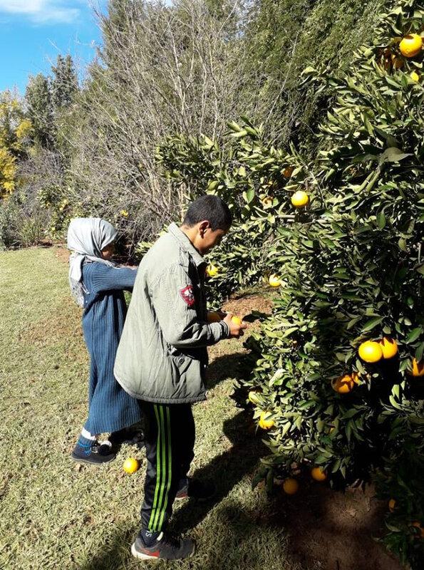 ramassage des oranges dans l'arbre