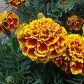 2008 09 01 Des fleurs d'oeillet d'Inde colossus