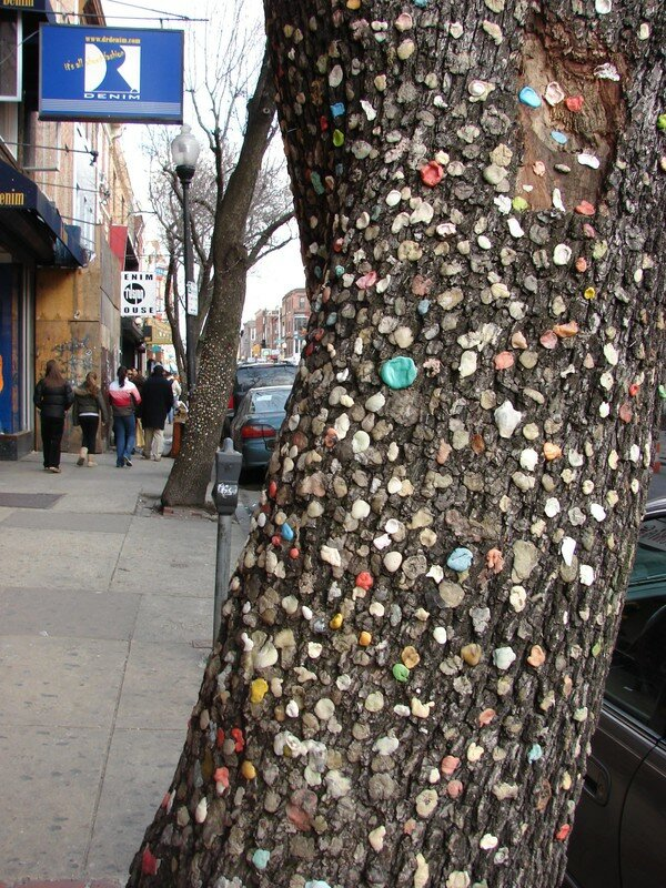 chewing gum tree