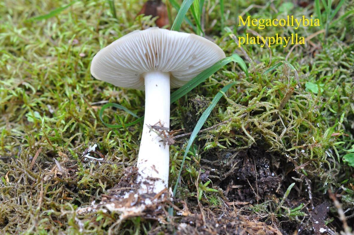 Megacollybia platyphylla 2