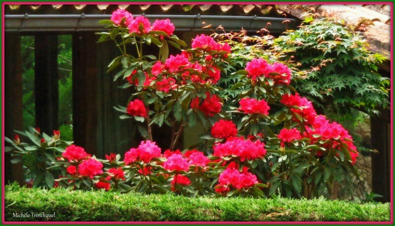 Rhododendron 0605153