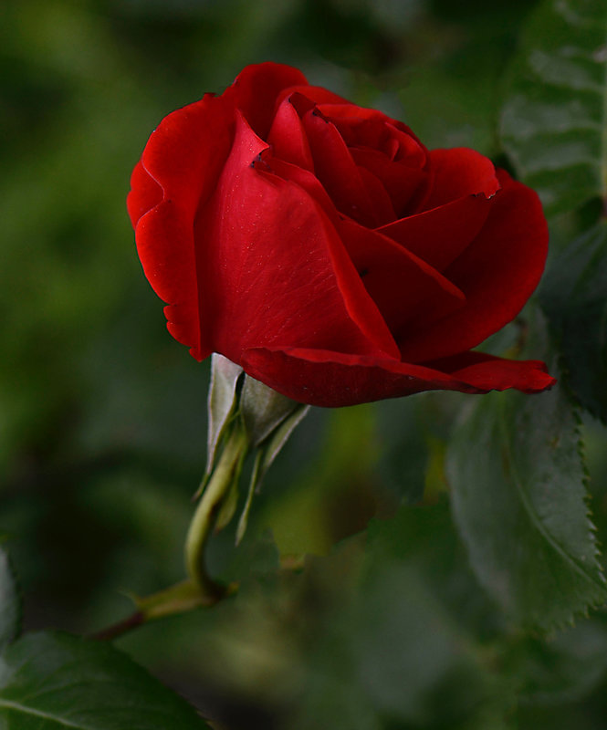 Rose rouge 2 12-05-21