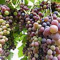 4-vignes, raisins (32)