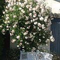 Roses et dentelles