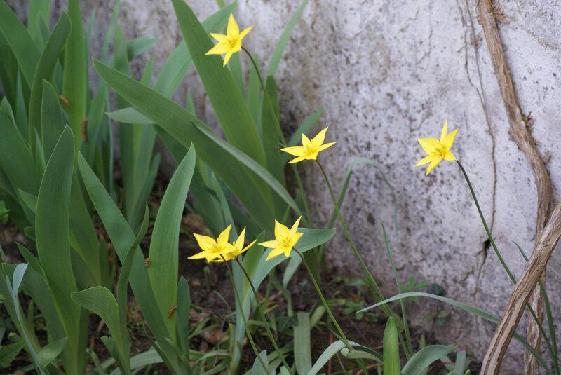 tulipe sauvage 3