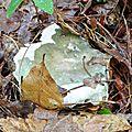 Russula cyanoxantha var