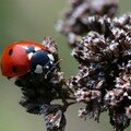 La coccinelle à sept points