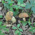 Boletus queletii (1)