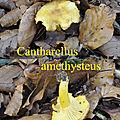 Cantharellus amethysteus