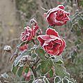 roses gelées