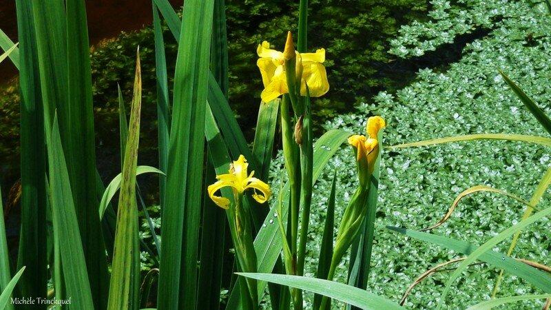 Iris aquatiques 1704165