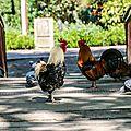 Coqs et pigeons au jardin des plantes