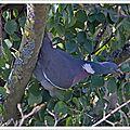 Le pigeon de la baie