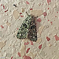 La chenille de ce beau papillon est une mangeuse de lichens....