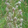 himantoglossum hircinum (orchis bouc)