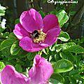 ♥ Les roses de mon jardin ♥