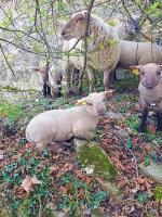 chez cathytutu rando mouton la bergerie urbaine collonges au mont dor (17) - Copie