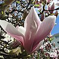 Magnolias for ever ...