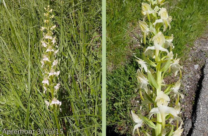 fleurs d'un blanc verdâtre en épi simple allongé plus ou moins lâche