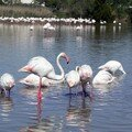 Flamants roses 03