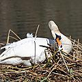 Maman cygne façonne son nid