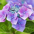 Quelle fleur plus extraordinaire que l'hortensia ...