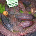 féves de cacaoyer