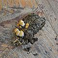 Crucibulum laeve (2)