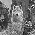 Loups, lynx, ours,... les dernières de férus !
