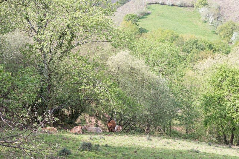 pâturage dans la verte prairie de Navarre