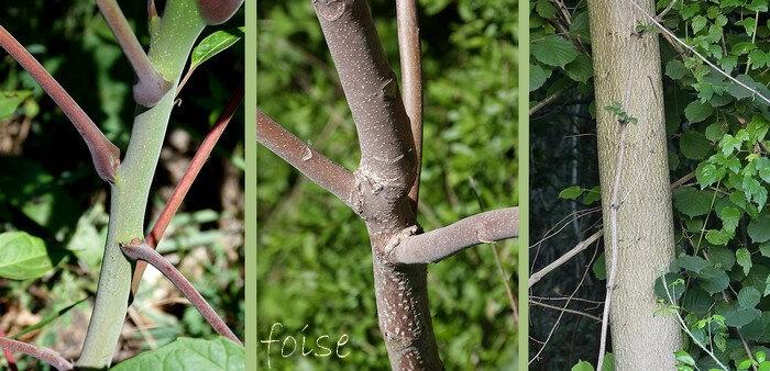 jeunes rameaux pubérulents rougeâtre écorce grise