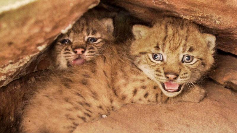 reintroduction-lynx