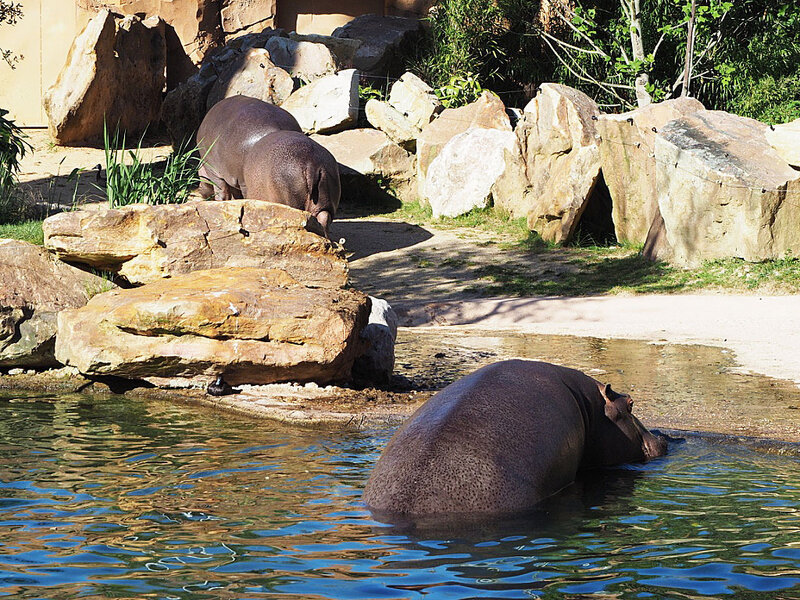 zoo-beauval-animaux-hippopotames-34