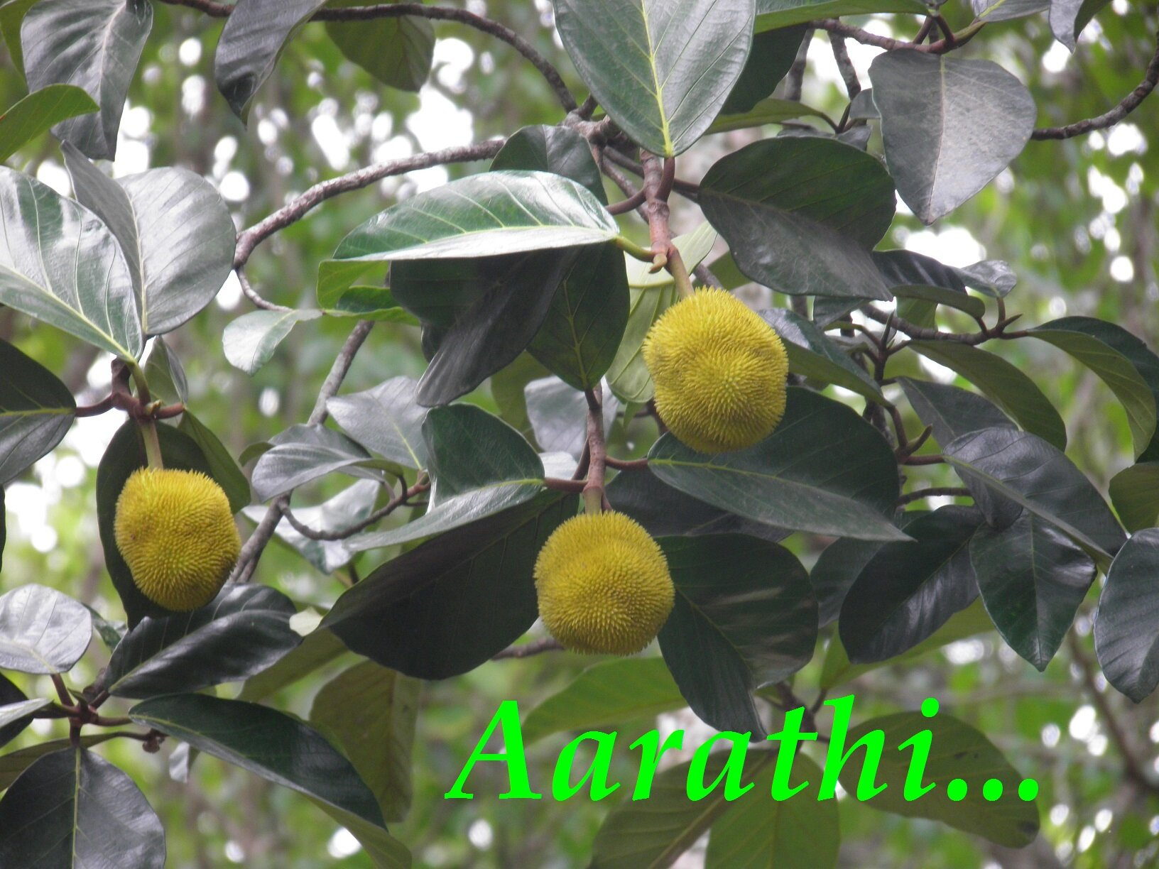 Pulinchakka - Artocarpus lakoocha