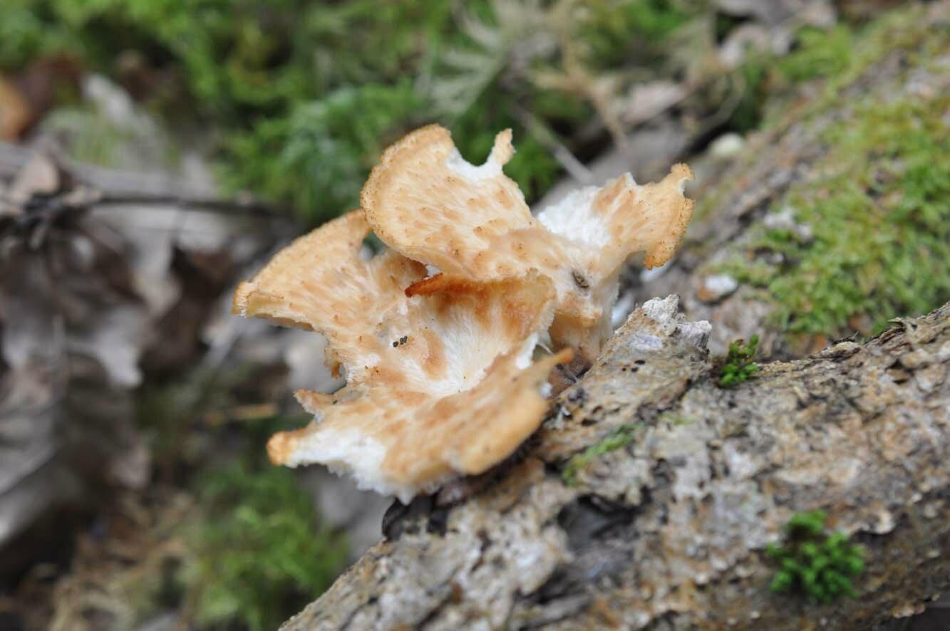 Polyporus tuberaster (3)