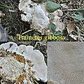 Trametes gibbosa