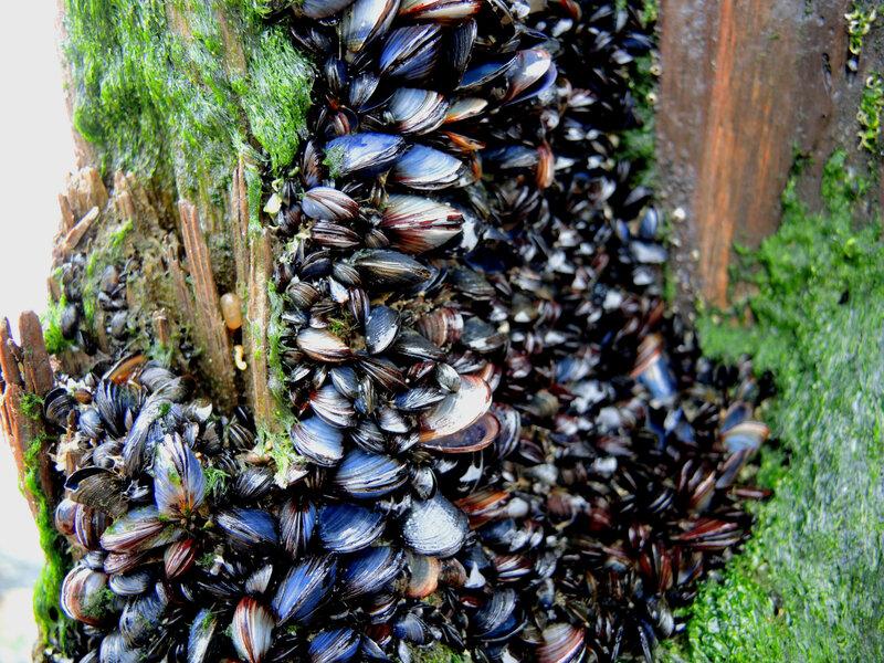 Seignosse, plage du Penon, piquet moules, hiver