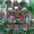 Cyclamen, Anthurium, Solanum…