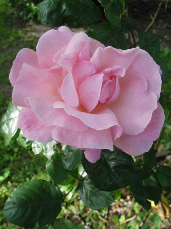 RosesParc1