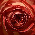 Rose 2 17-12-14